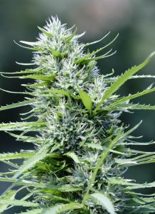 cannabis-light-alta-qualità